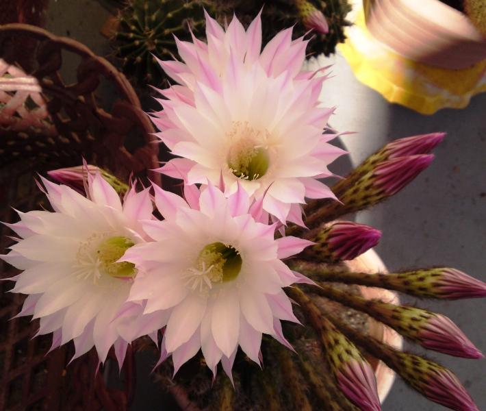 5_Kaktus3